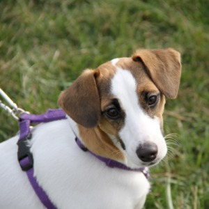 Jack Russell learning training in private lessons and outdoor distractions
