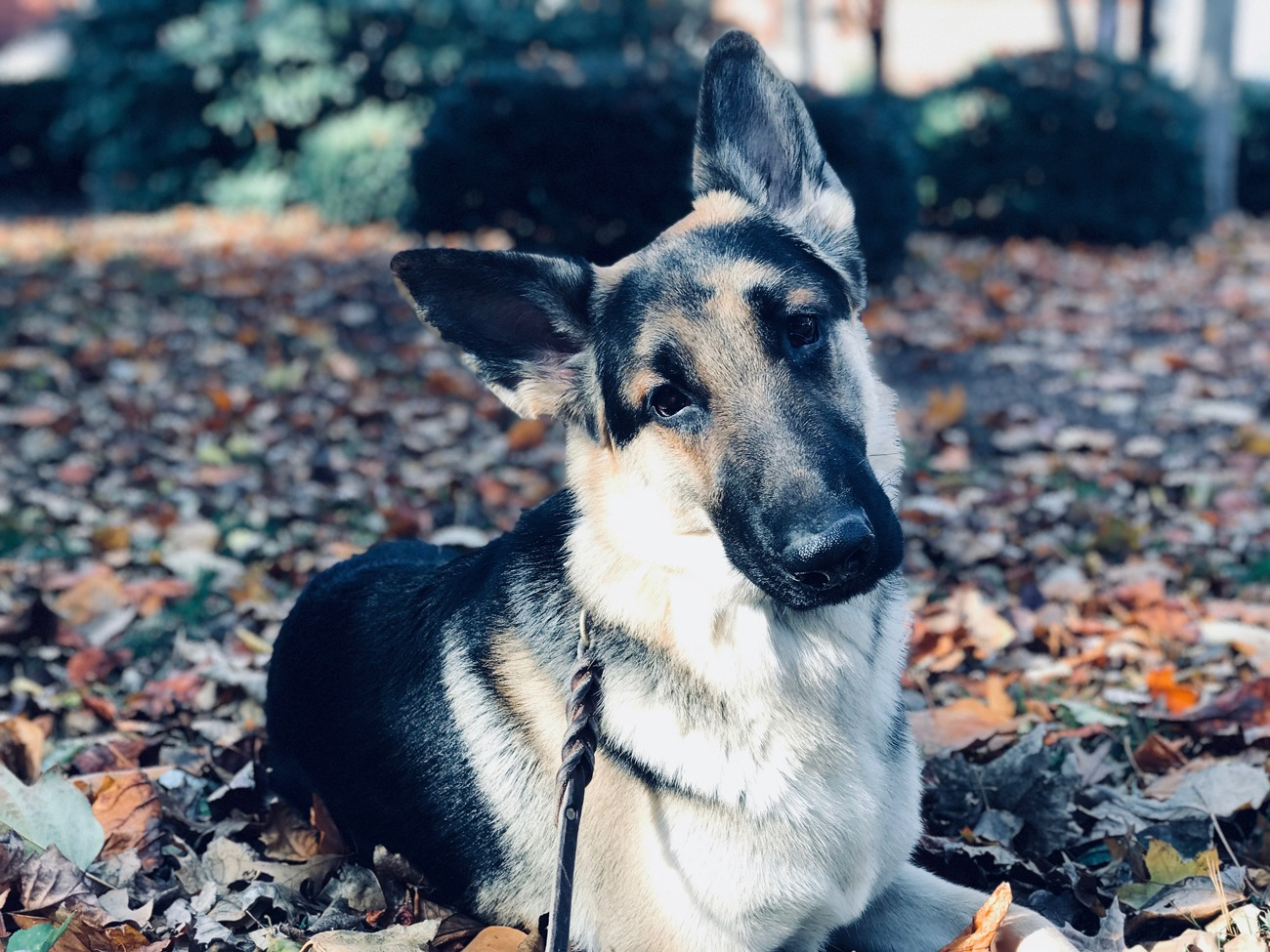 German Shepherd dog in training for human aggression during session In the park