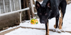Emily's German Shepherd dog shot taken in the snow for off leash recall and obedience