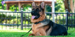 Emily's dog stern; trained in personal protection and demoing the type of dogs for sale that she imports from German